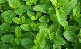 نعناع-peppermint-attribute-گیاه-دارویی-طب-سنتی